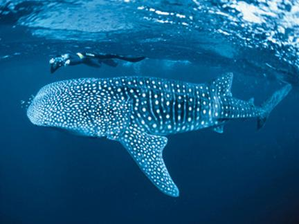 Diving with Whale Sharks in Koh Tao