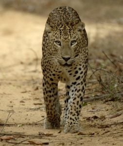 Leopard in Wilapttu