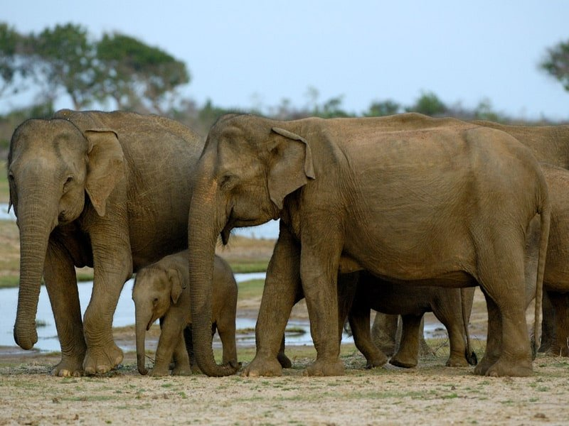 herd of elephants with a water body behind them. the bigger elephants are protecting the baby