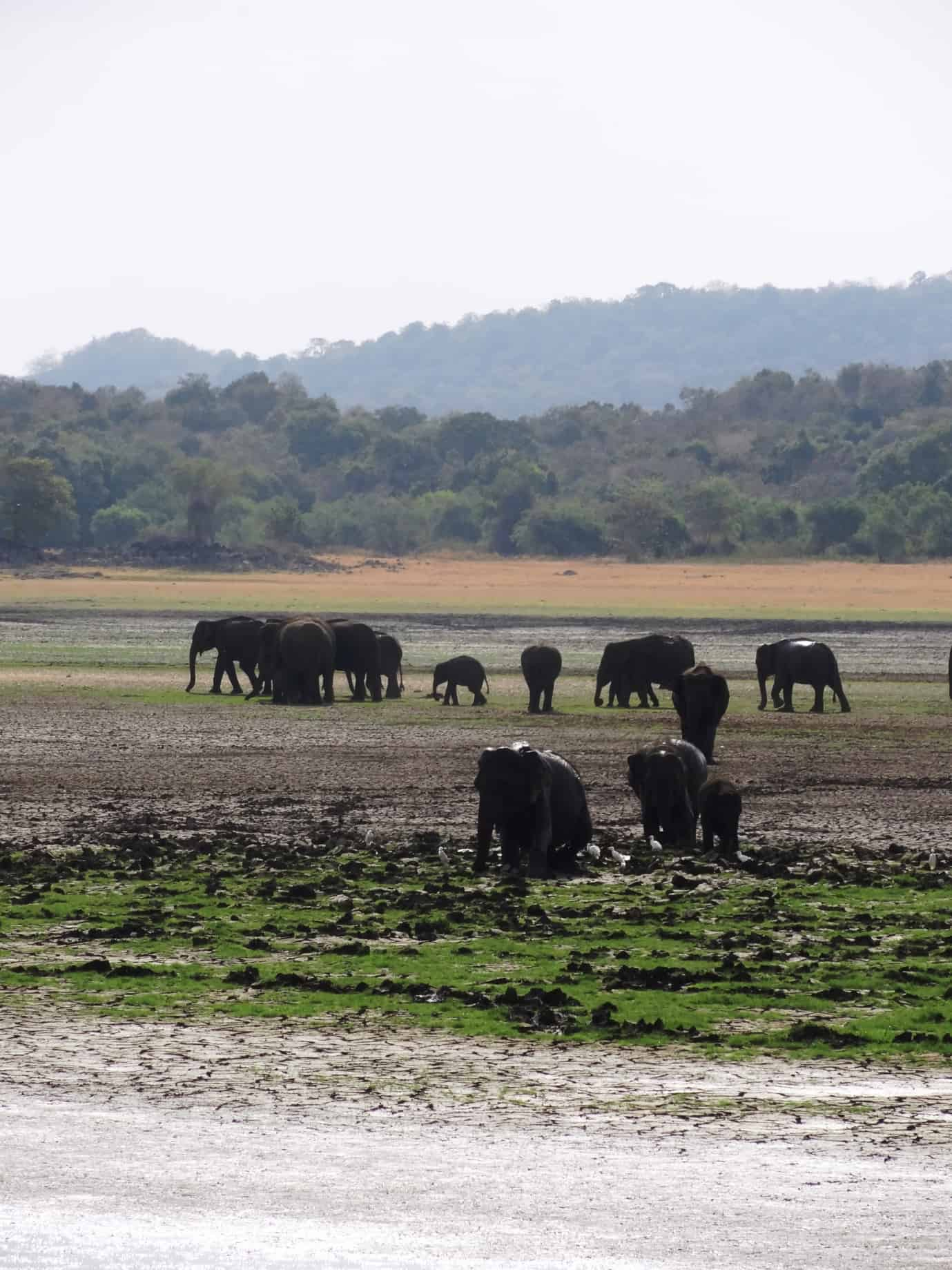 Elephant gathering in Sri lanka - a herd of elephants in two groups with the backdrop of forested hills