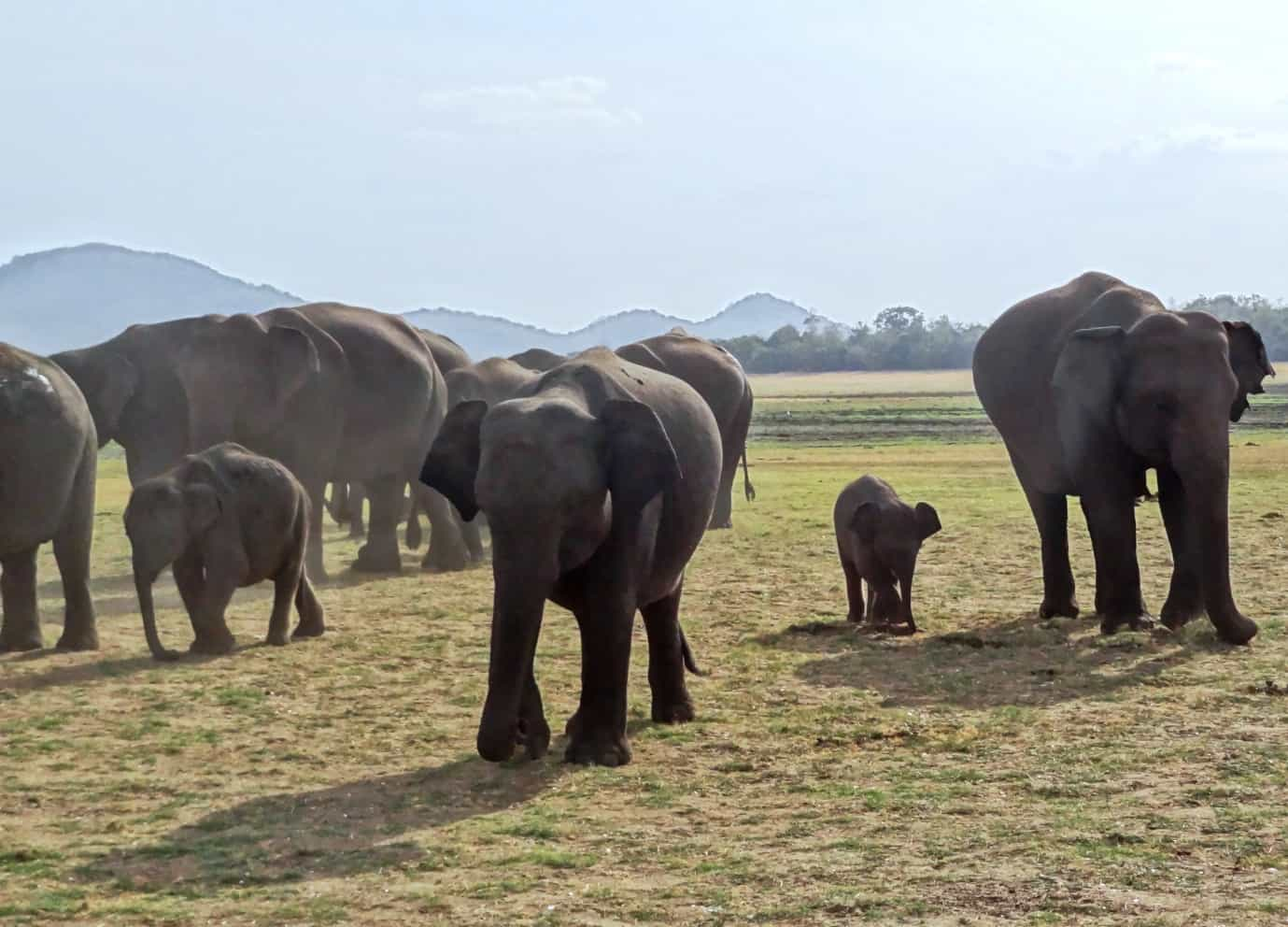 wild elephants walking on steppes in their natural habitat