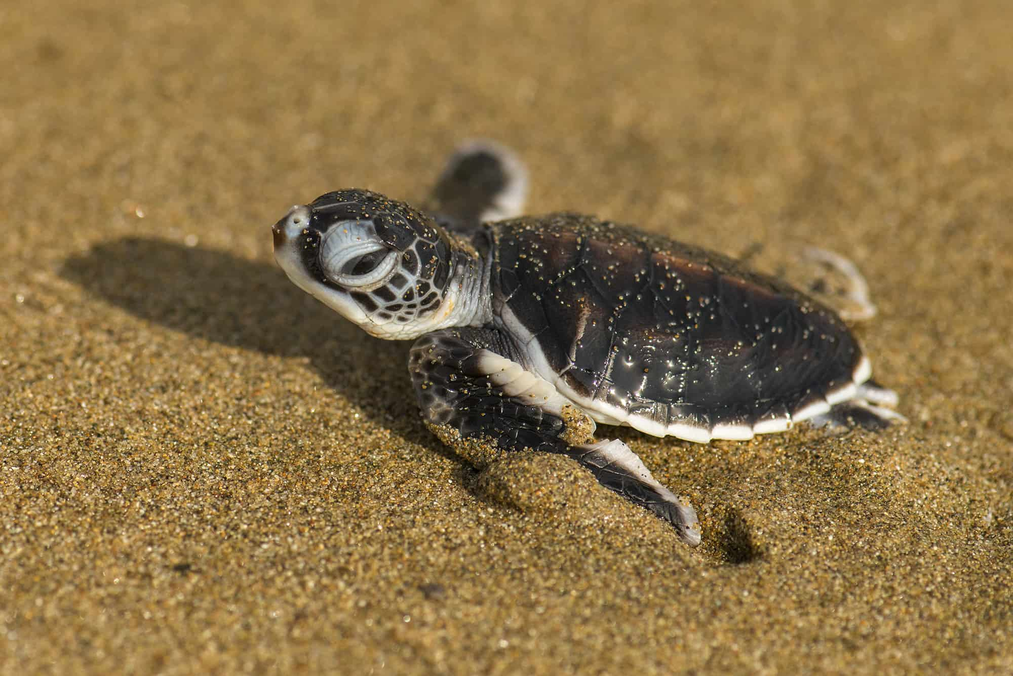 A baby turtle on the beaches of Oman
