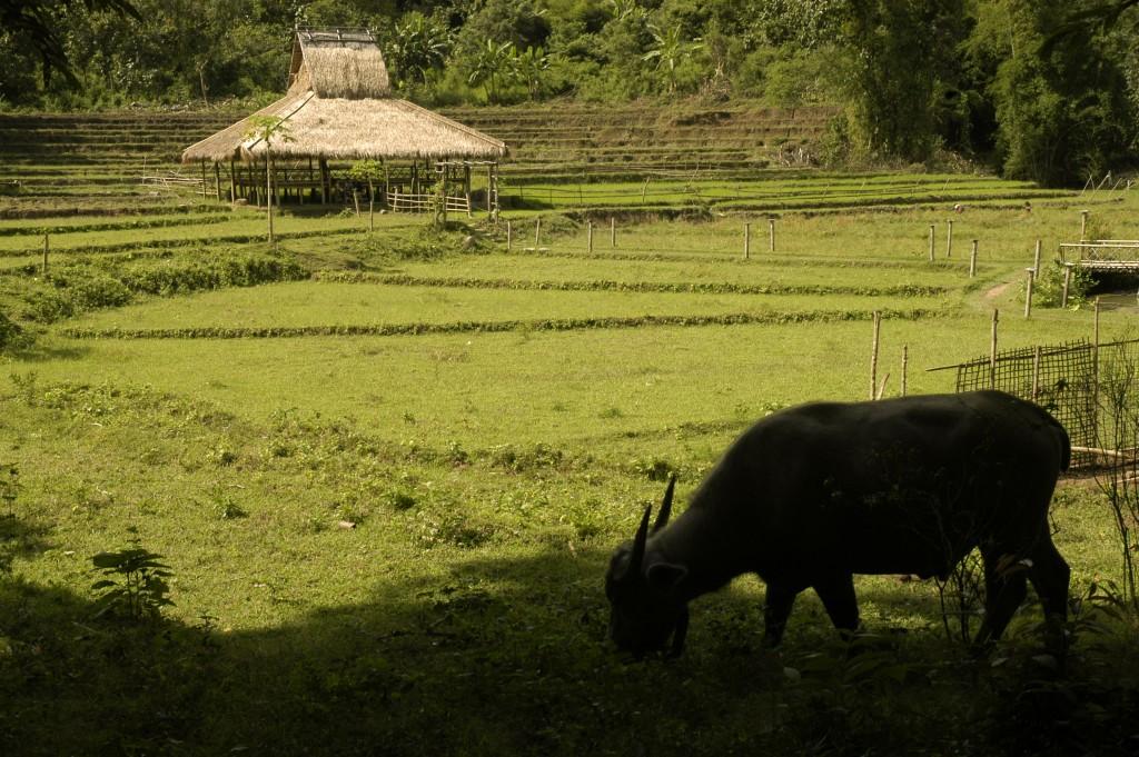 Rice Field near Kamu Lodge