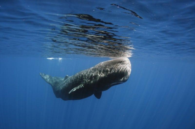 Sperm Whale East Coast 2