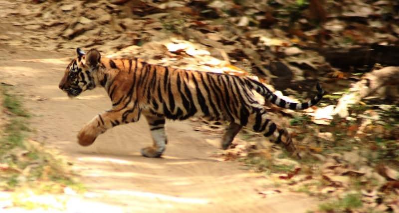 tiger-cub----kanha_5180708287_o