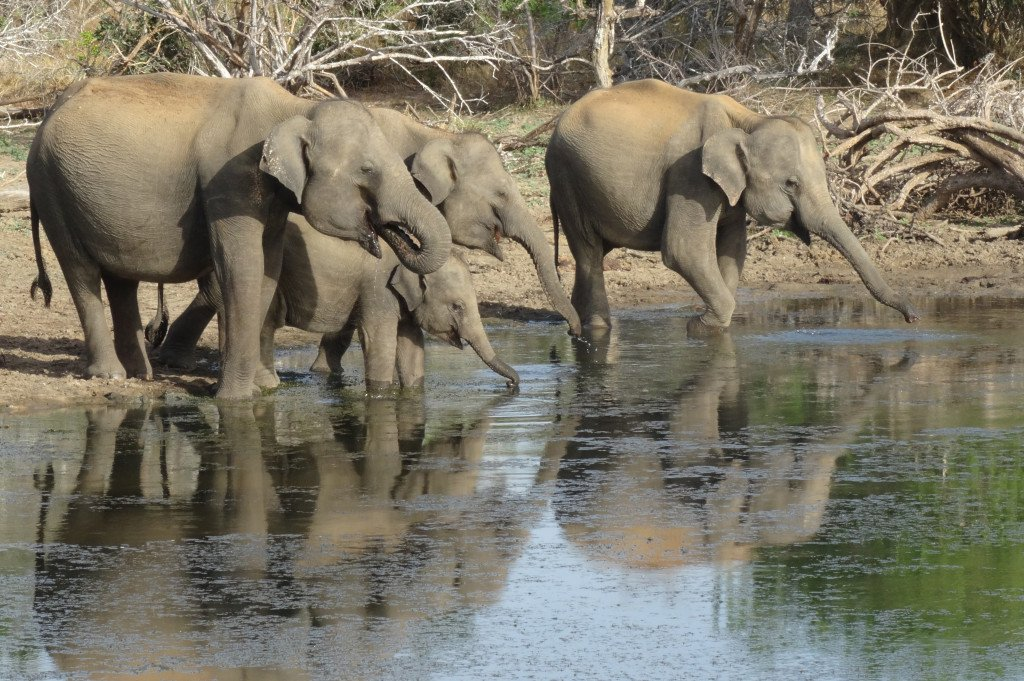 I love the way that the water reflects the family of elephants in this shot. Their trunks extending out as if to touch their own reflection is rather beautiful. Well done to Nikki who took this photo whilst on holiday with ETG to Sri Lanka.