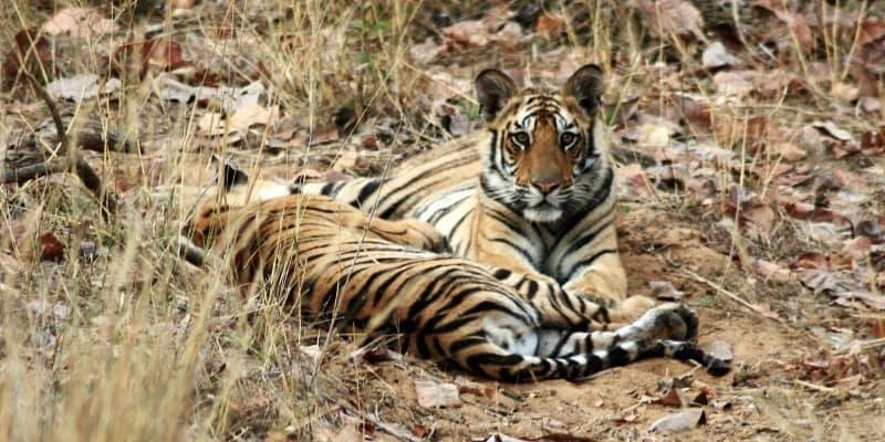 tigers-----bandavgarh-national-park_5165680857_o