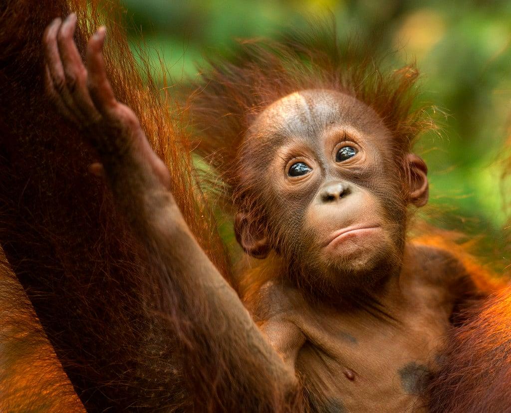 Borneo Orang Utan Baby 1 copy