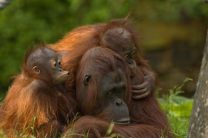 mother orangutan with her cute babies in Sepilok Orangutan Sanctuary