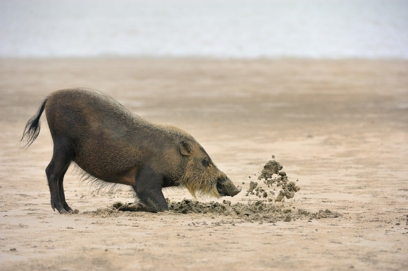 Bearded pig digging up the beach of Bako National Park looking for food