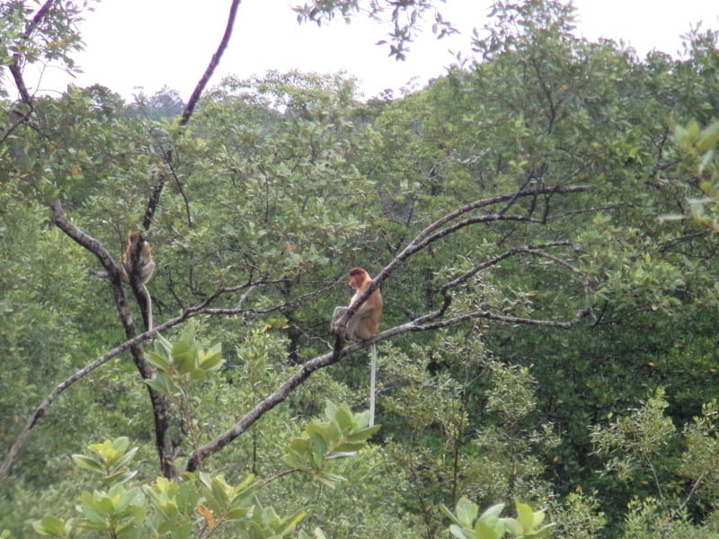 A Proboscis Monkey sitting in a tree with its tail hanging down