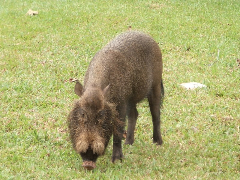 Bearded pig in Bako National Park, Sarawak