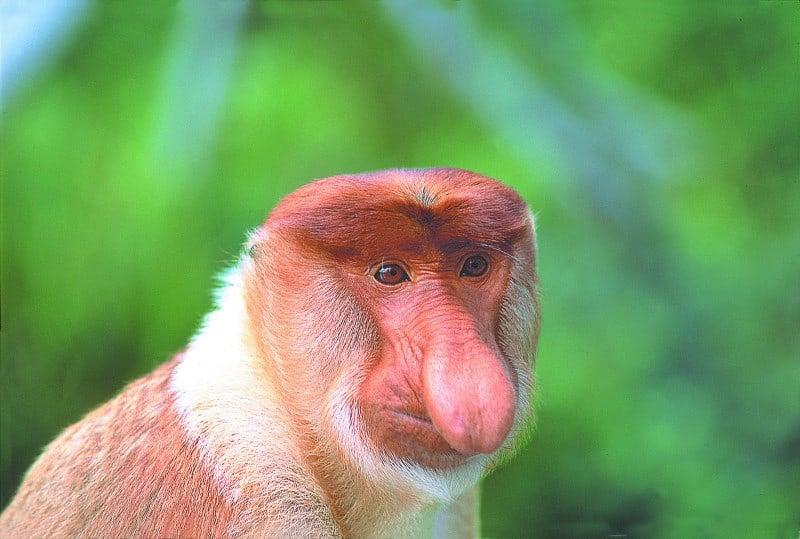 portrait shot of a Proboscis Monkey with its huge nose