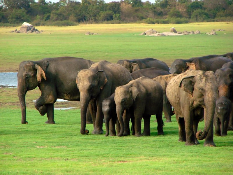 The elephant gathering in Sri Lanka. A heard of elephants stand tightly together in a group with pools of water and green grass around them.