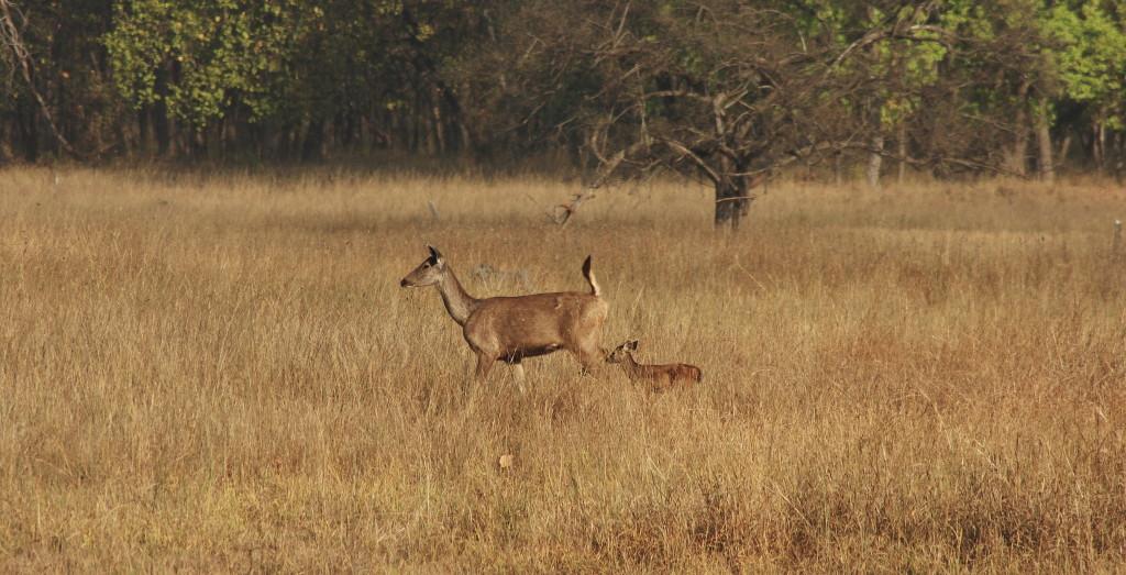sambar-deer---bandavgarh_5166278646_o