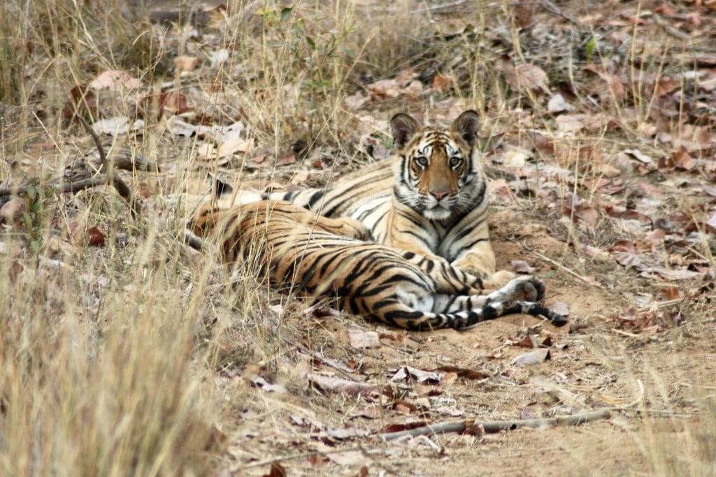 tiger---bandavgarh8_6754566481_o