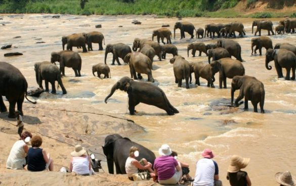 Male elephant in water strains as herd moves away