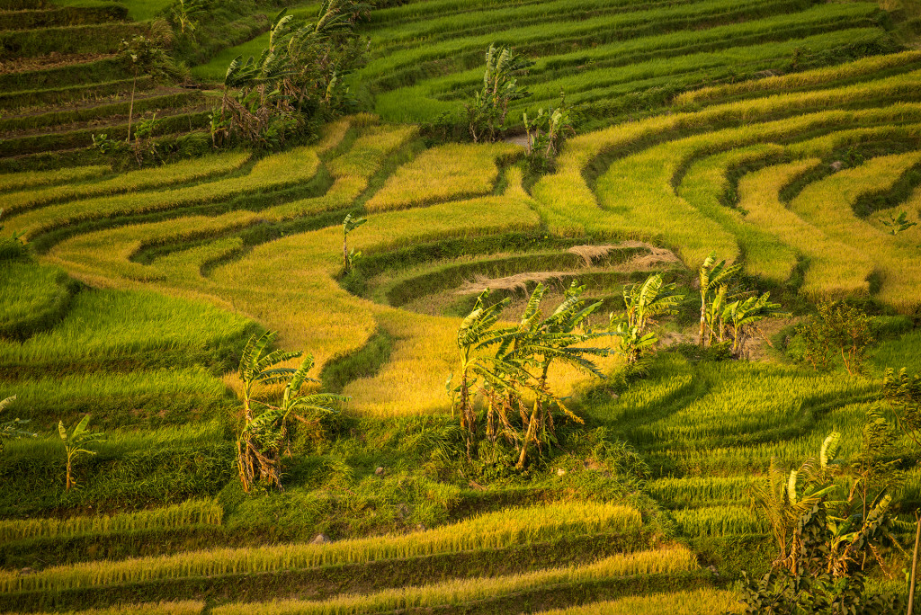 Selogriyo Rice Paddy 10