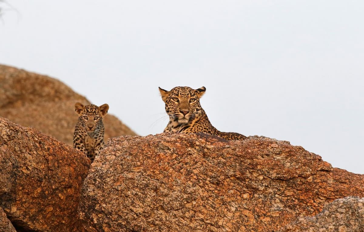 Leopards with their heads above huge boulders, almost blending in with the boulders as colours are similar