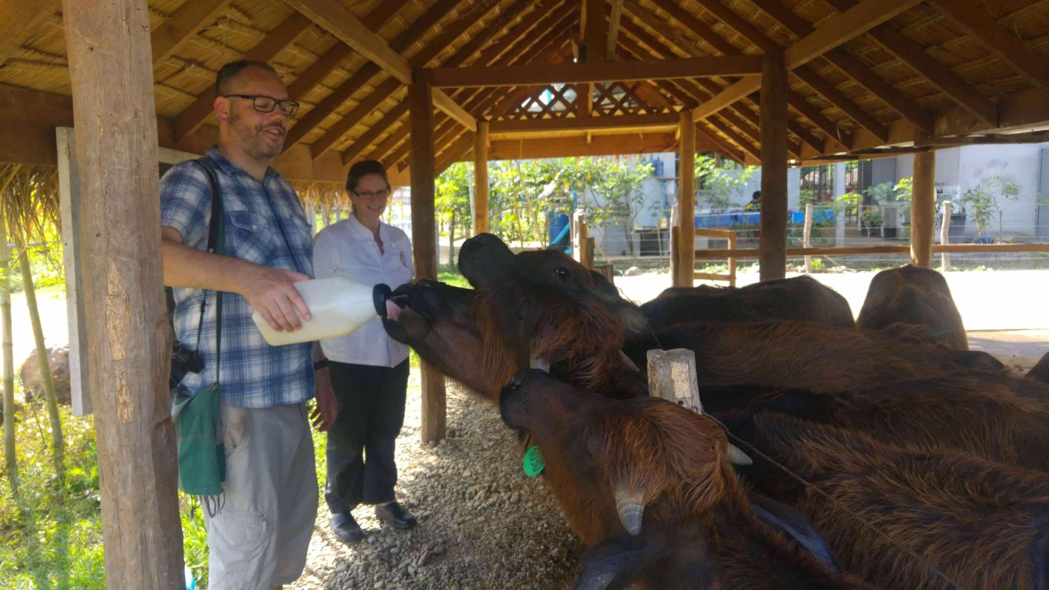 Feeding buffalo in Laos Buffalo Dairy Farm