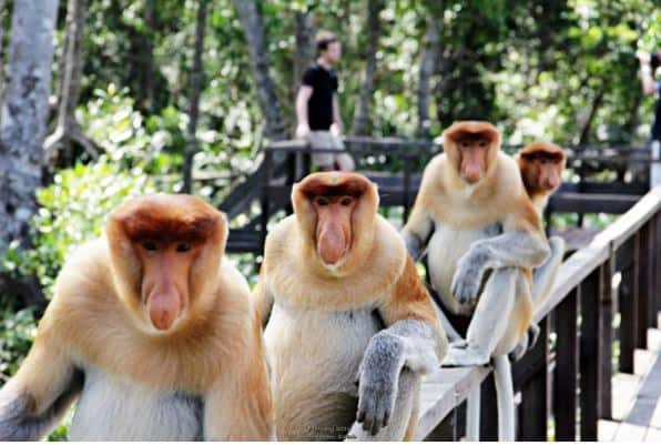 proboscis-monkeys