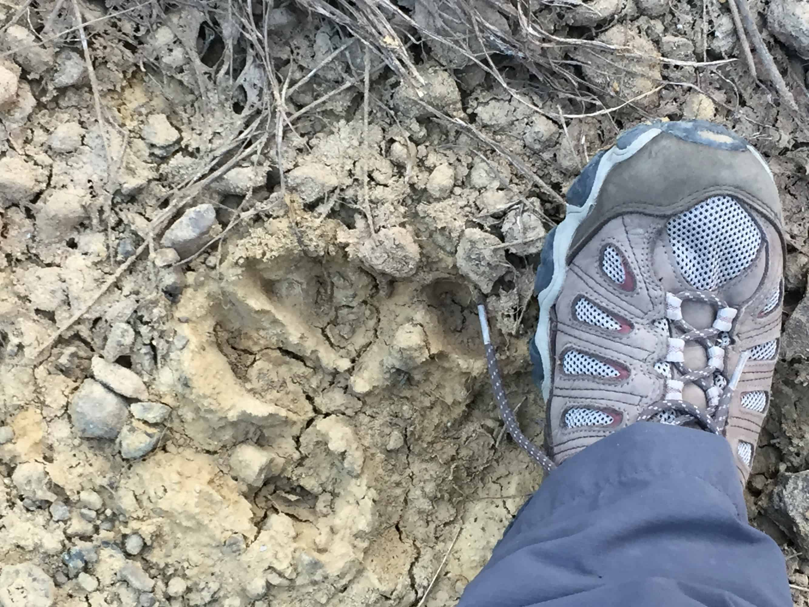 Robin's foot and tiger paw print in Satpura on walking safari