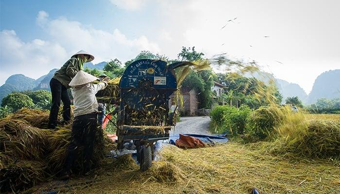 Rice harvest time in Ninh Binh, Vietnam