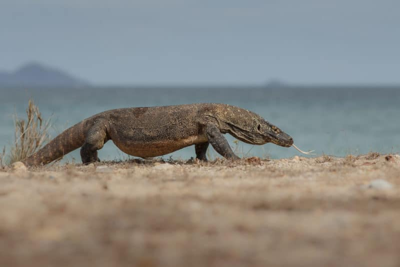 Komodo dragon can be found in Komodo national park in Indonesia