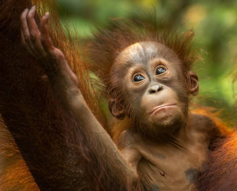 baby orangutan in Indonesian part of the Borneo in West Kalimantan