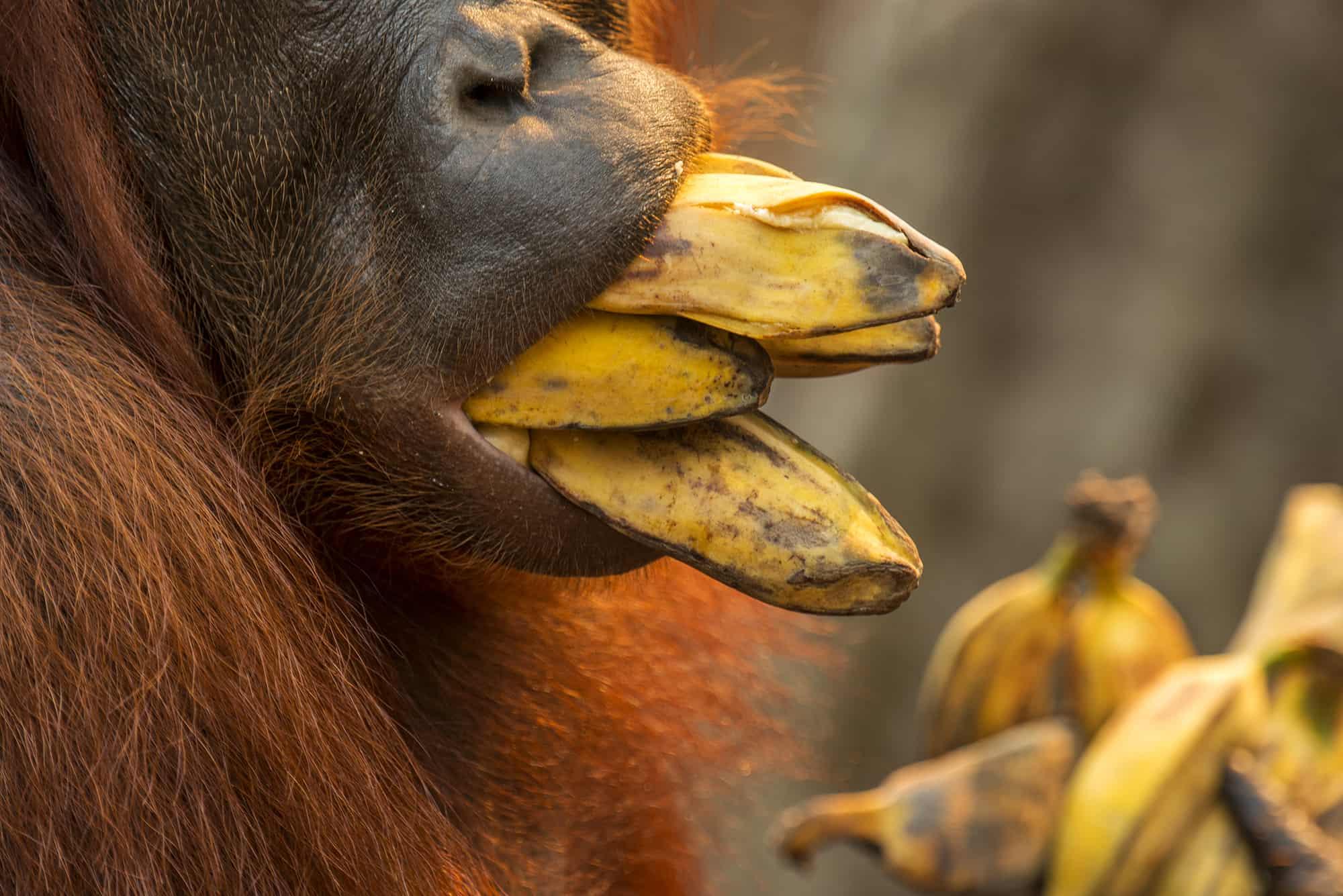 Mouth of orangutan eating bananas in Borneo