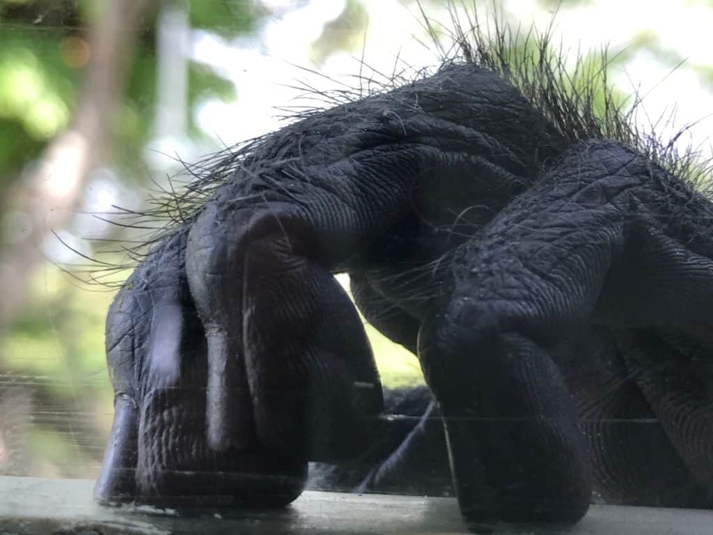 Close of picture of a Monkeys hands with fur on fingers