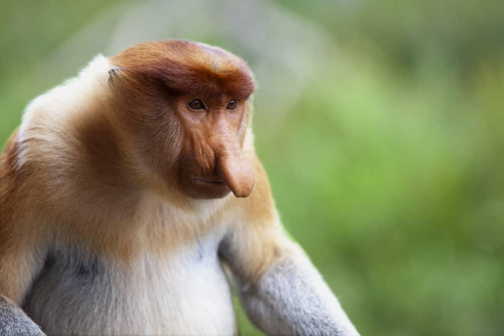 Vaccinations in Borneo: A proboscis monkey, Sandakan