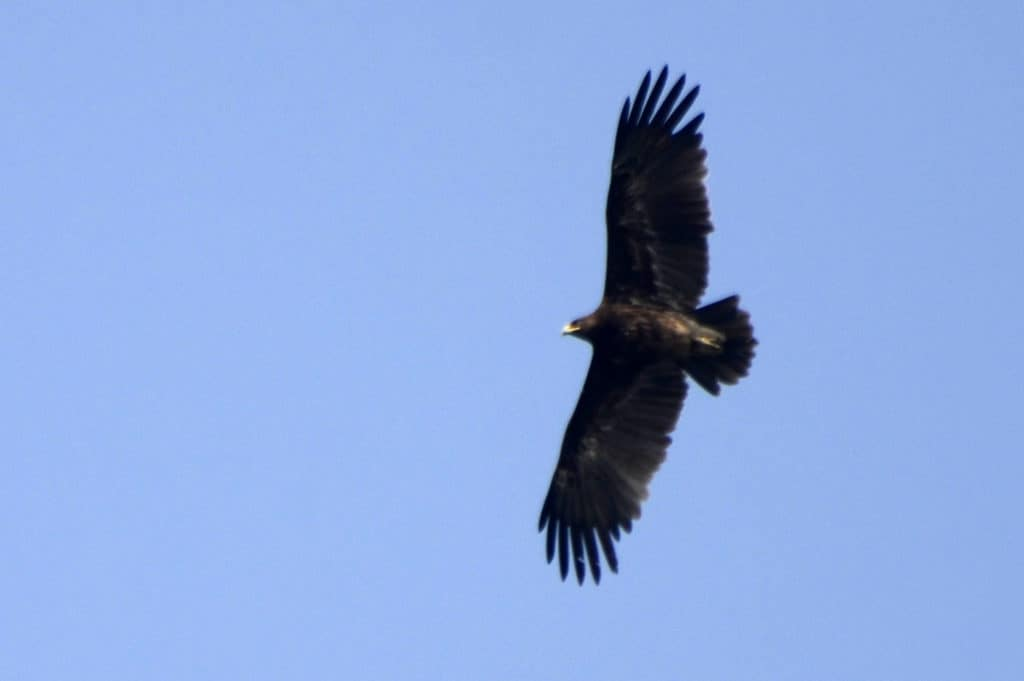 Greater Spotted Eagle flying above Satpura National Park with its wings outstreched