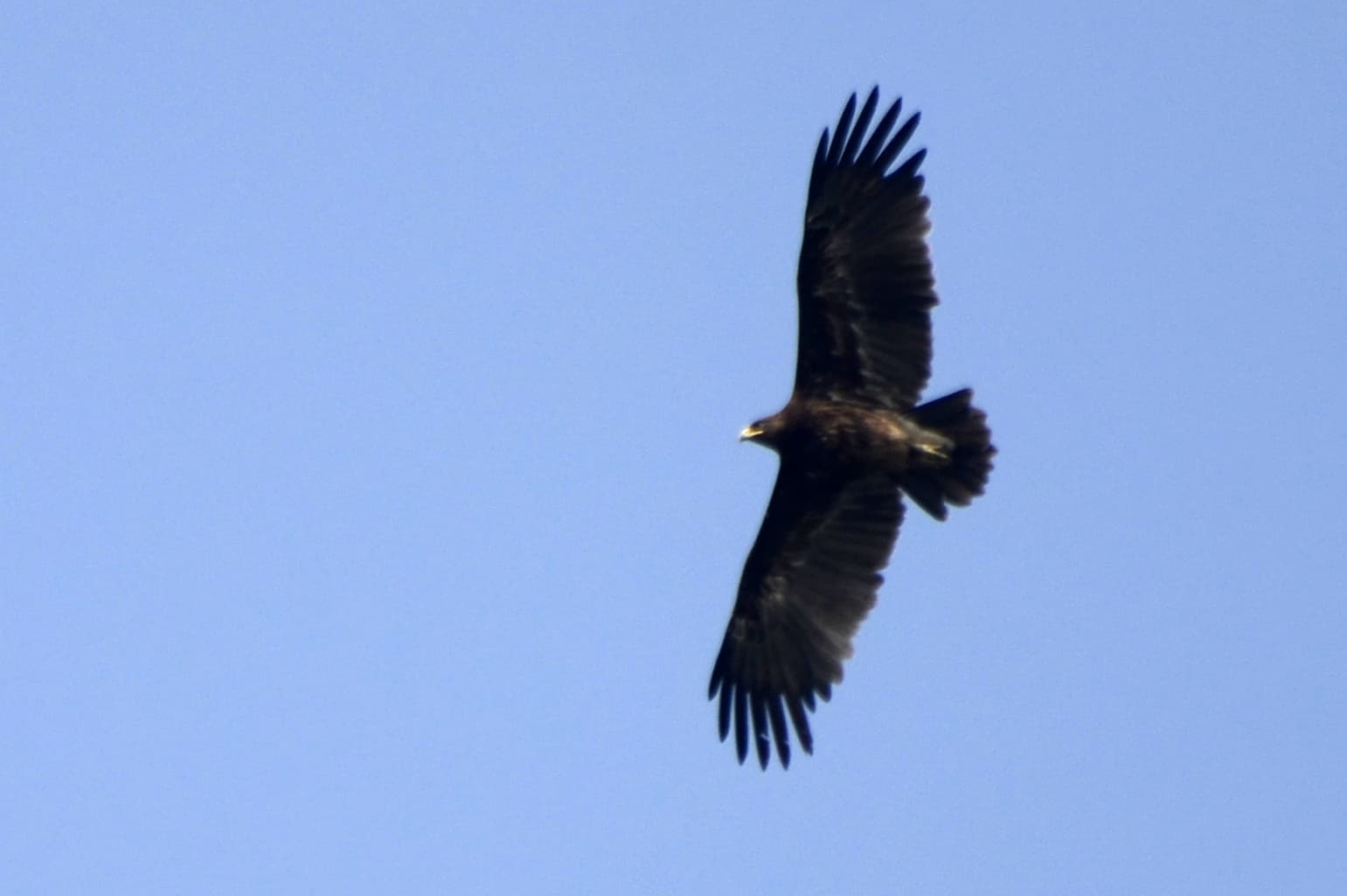 a black Greater spotted eagle with its full wing span with a clear blue sky behind