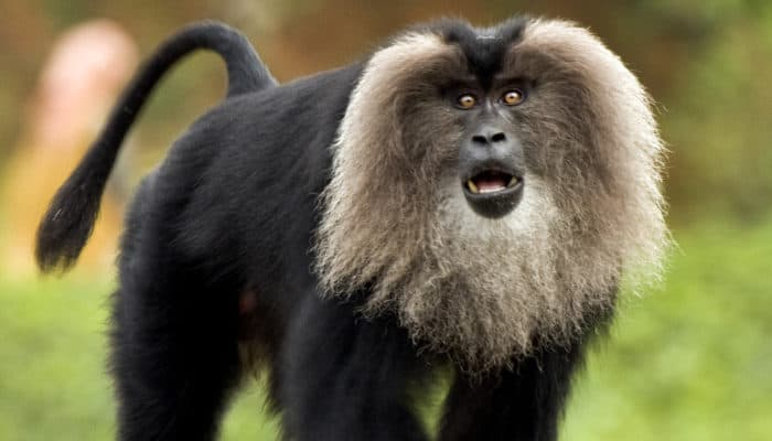 lion tailed macaque found in the western ghats of south india
