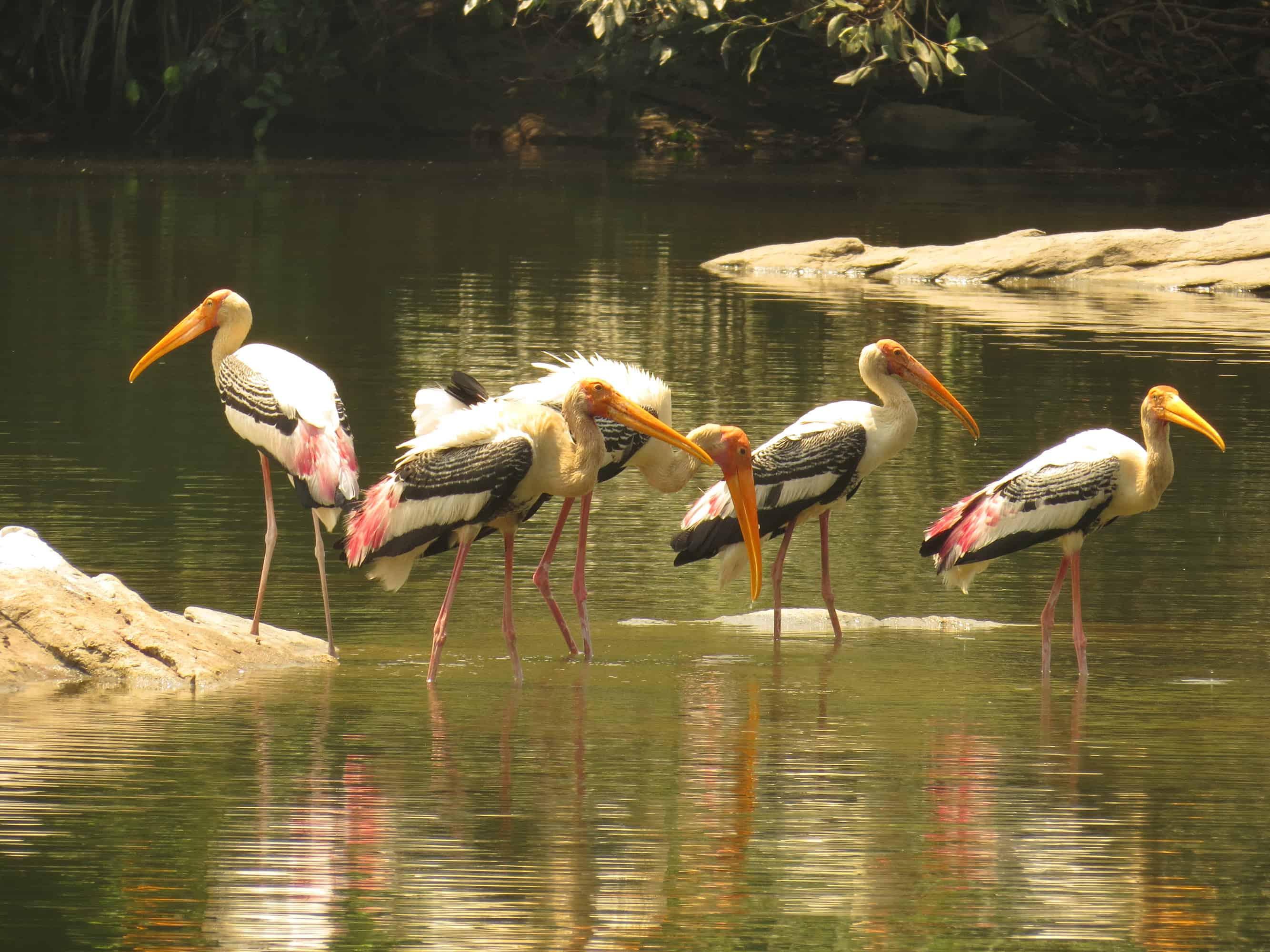 birds fishing in Ranganathittu bird sanctuary in karnataka