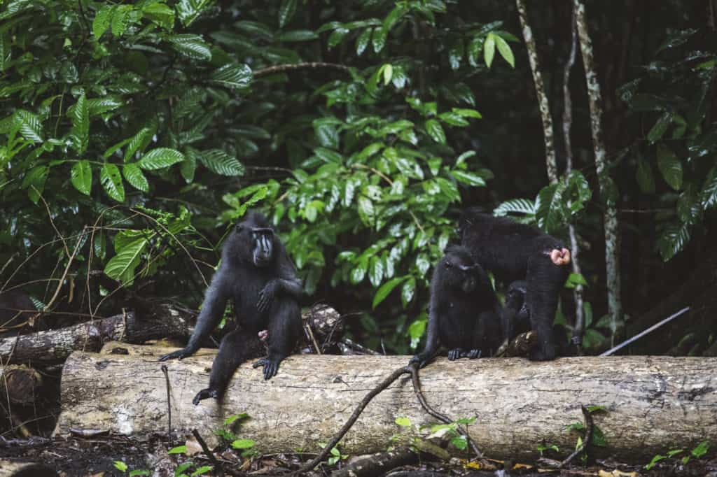 Black crested macaques playing