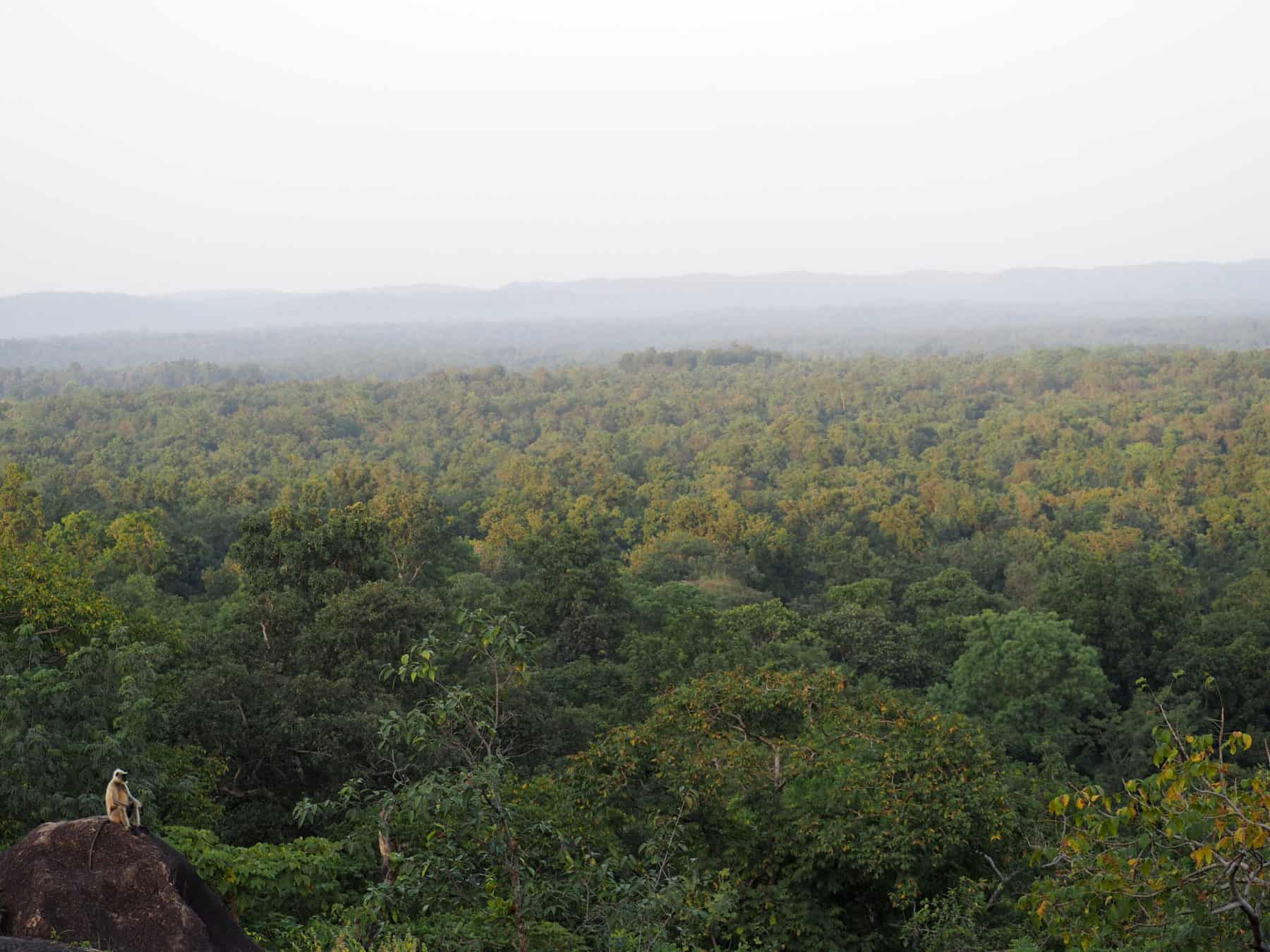 Langur in Kanha National Park