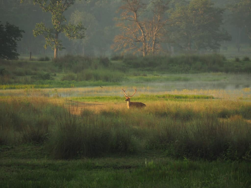 Deer in Kanha National Park