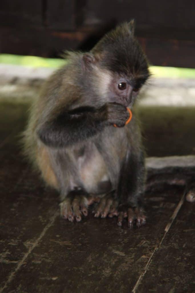 Silver Tree Monkey
