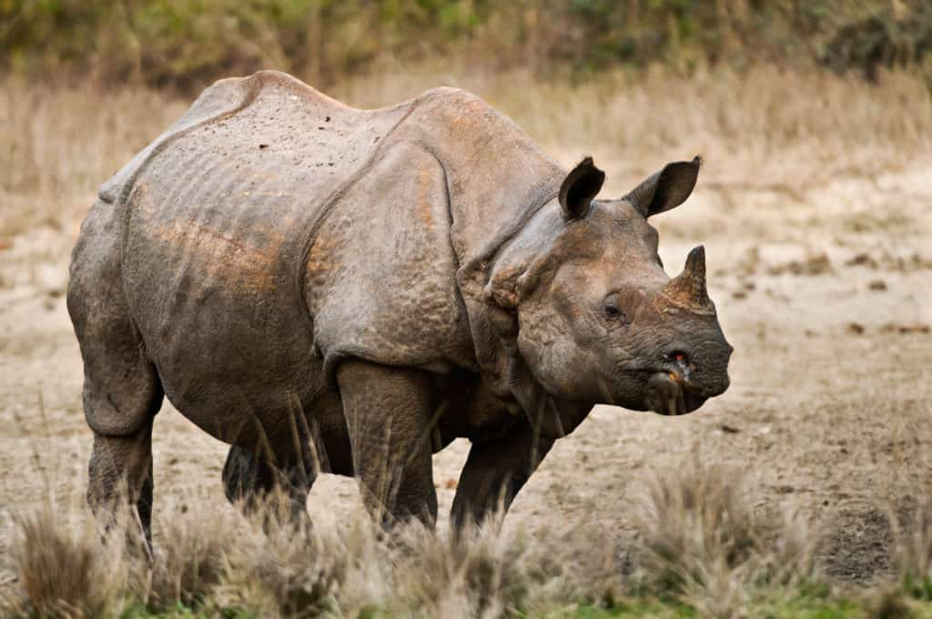 One-horned Rhino in India