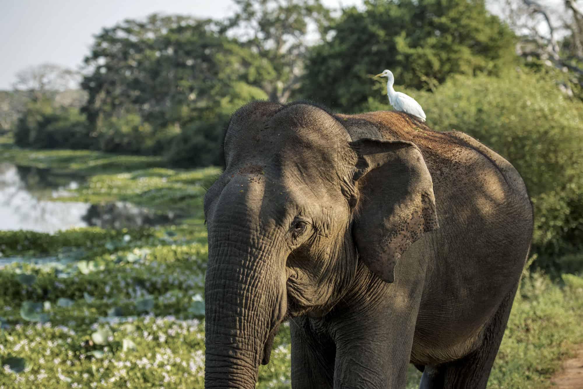 Asian elephant in Sri Lanka with a cattle egret sat on it