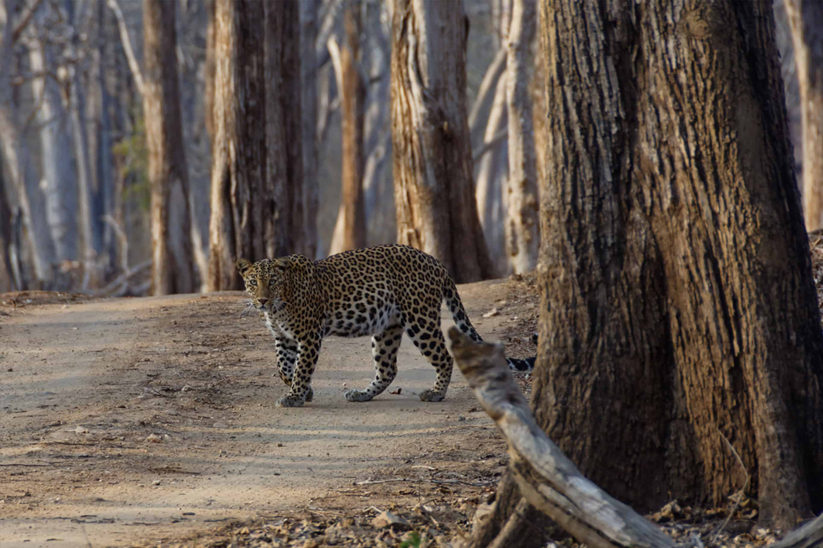 Wild Leopard in quiet Satpura National Park