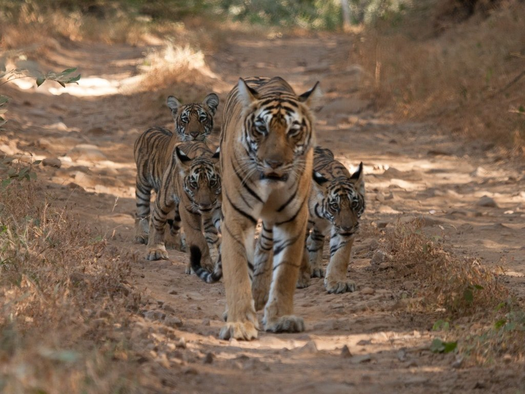 Tigers in Rajasthan in India