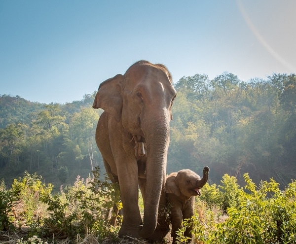 Elephants roaming around their natural environment in northern Thailand