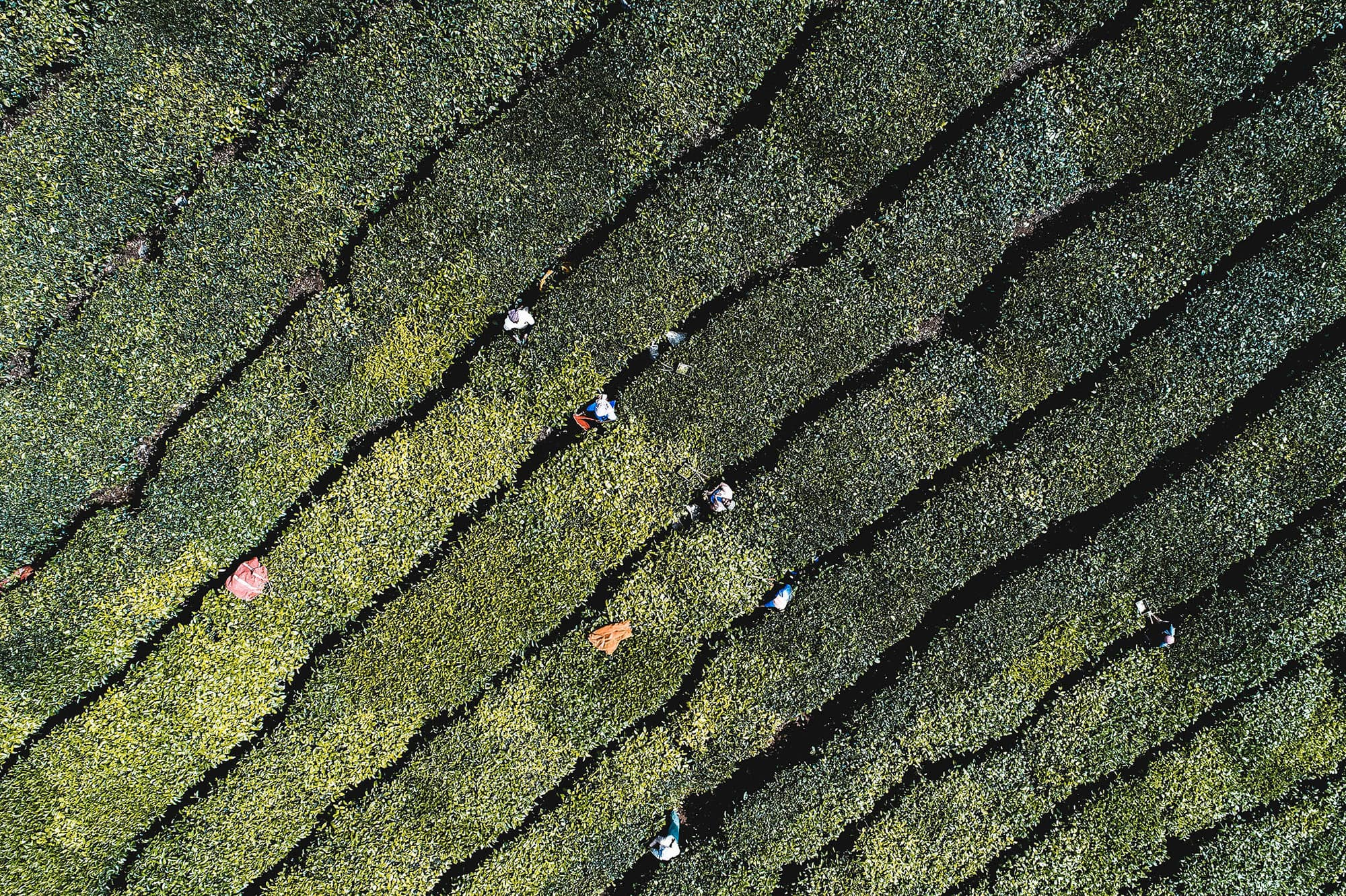 Aerial view of tea plantation in Kerala
