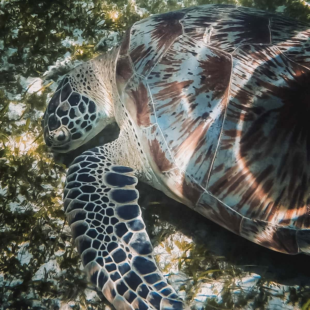 Sea turtle in Asia