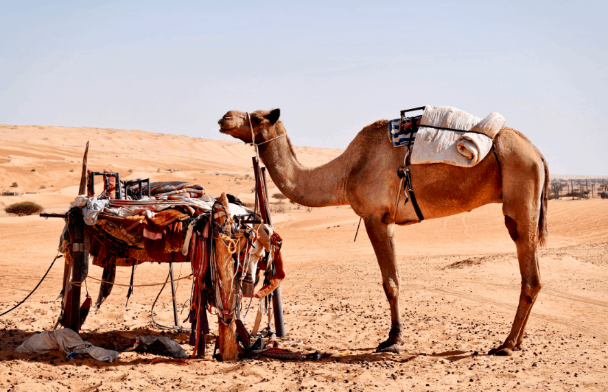 Camel in the desert of Wahiba Sands in Oman - perfect for families