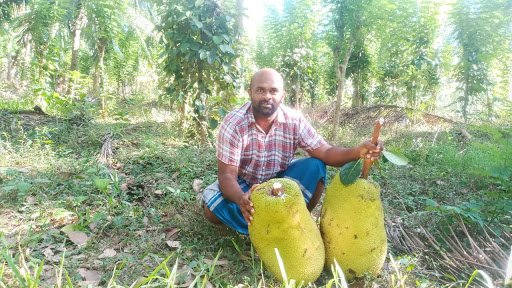 Giant jackfruits in Sri Lanka from Chauffeur guides organic farm