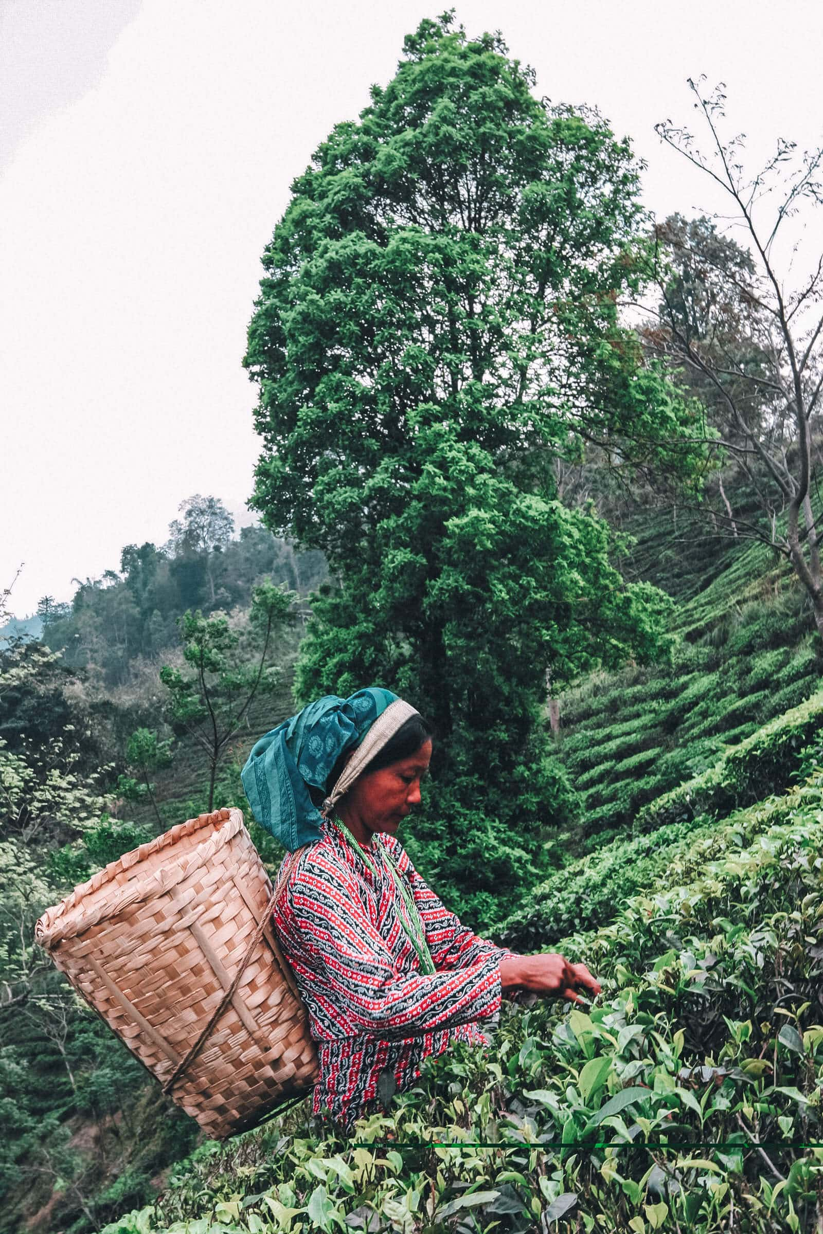 Tea picker in off the beaten track Bengal near Darjeeling